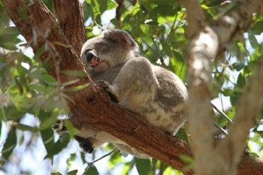 Koala Research Centre